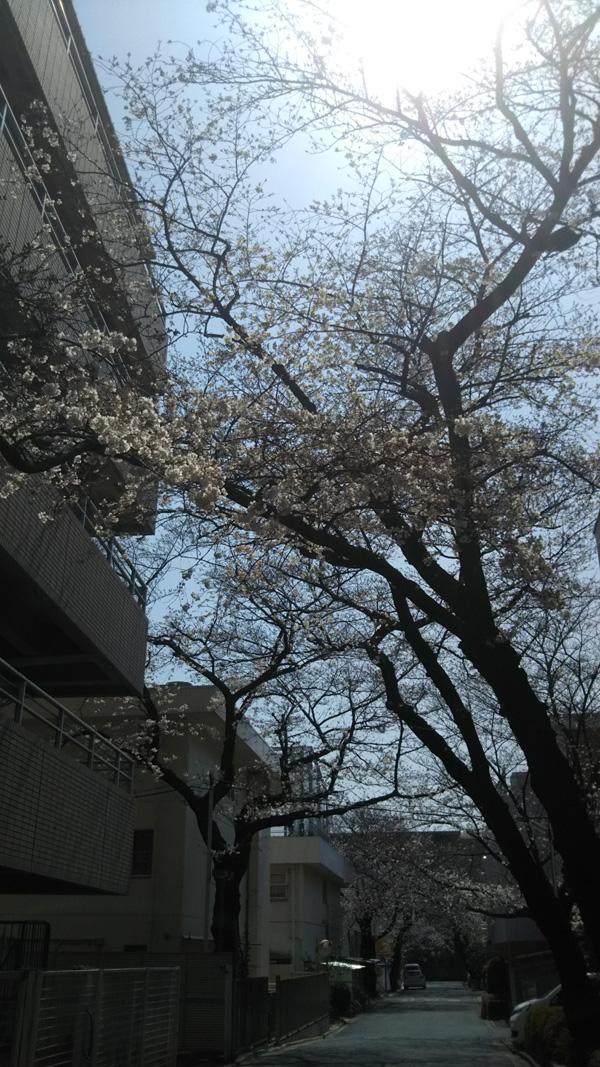 愛隣会の桜は4分咲です!