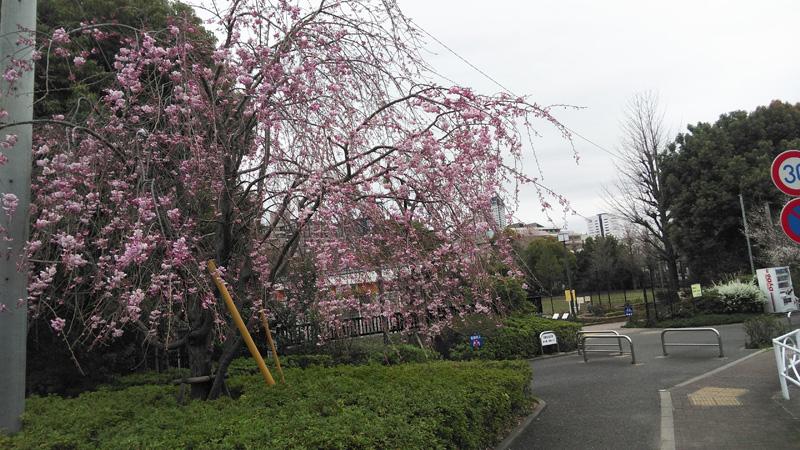 拡張公園枝垂れ桜🌸。