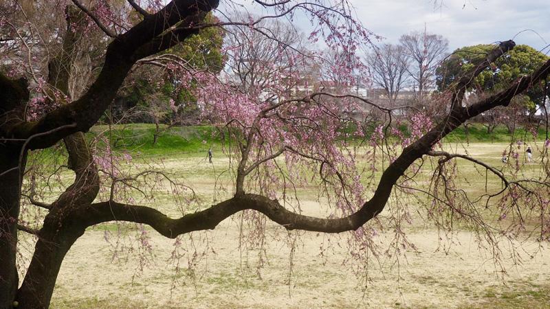 東大野球場に枝垂れ桜が咲き出した。球児も動き出した♬