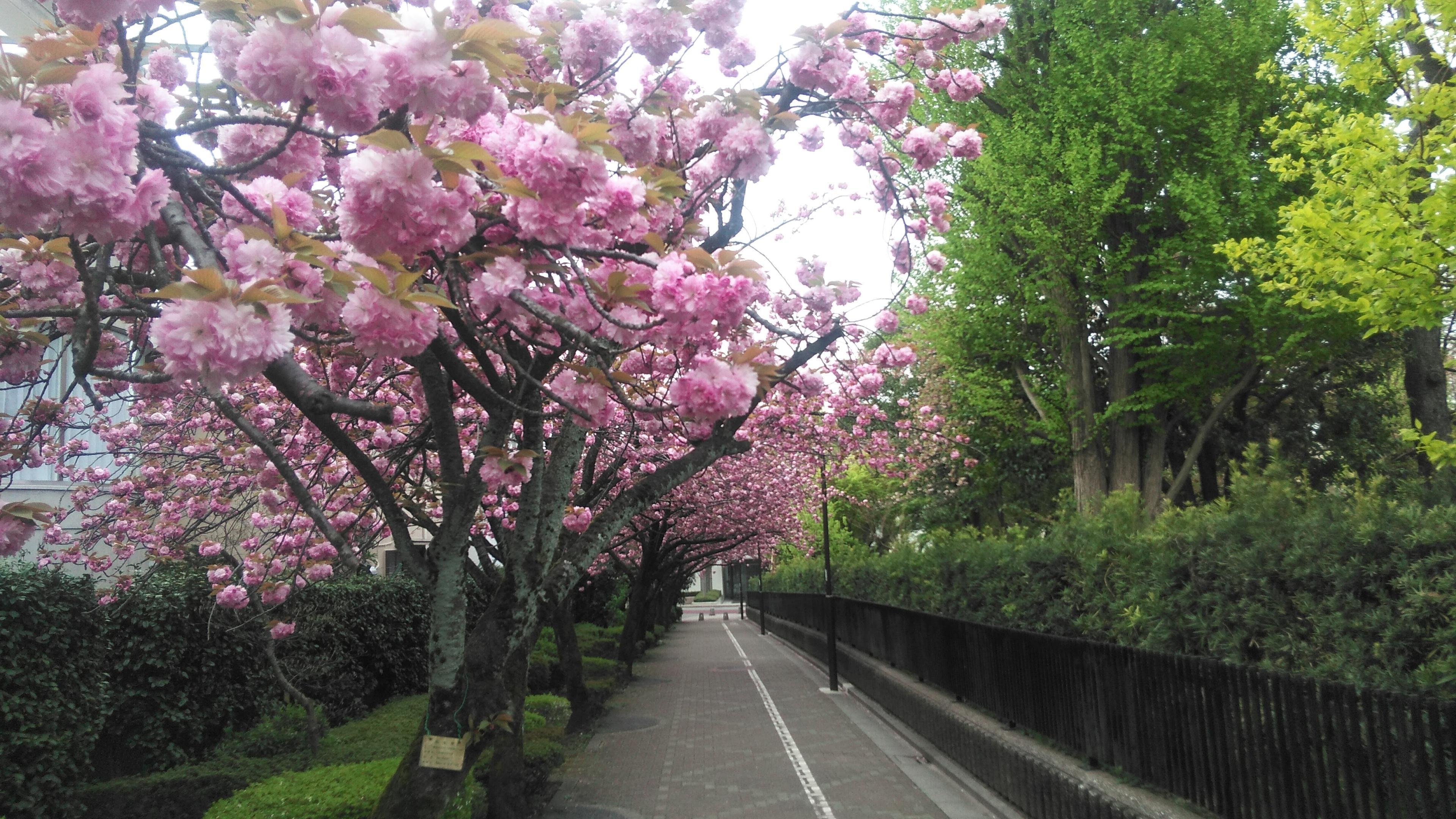 駒場野公園 サトザクラ